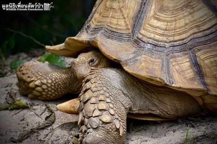 giant-tortoise-baby-cow-friendship-2