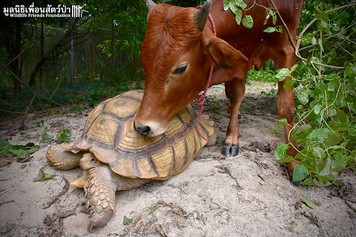 giant-tortoise-baby-cow-friendship-3