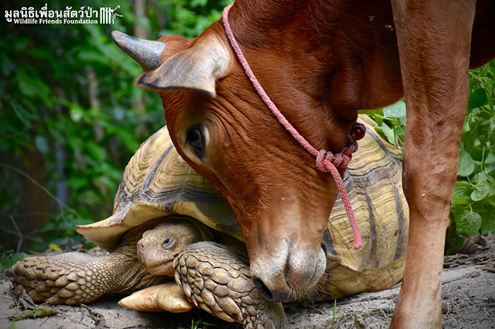 giant-tortoise-baby-cow-friendship-6