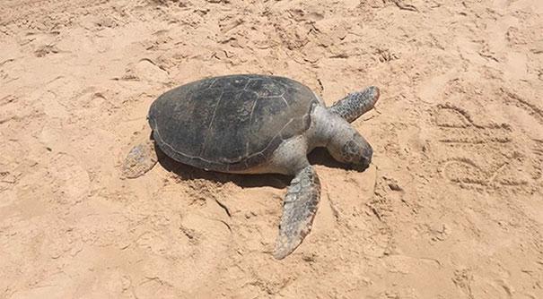 guys-surf-turtle-20000-fine-2