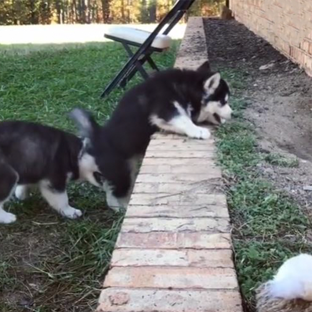 Husky Puppy Tries To Help His Sibling Climb A Small Wall