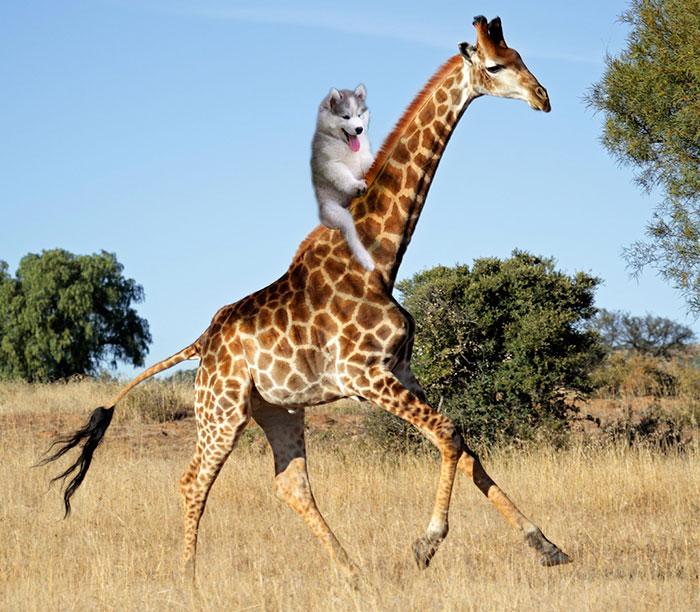 Dog On A Giraffe, Perfection.