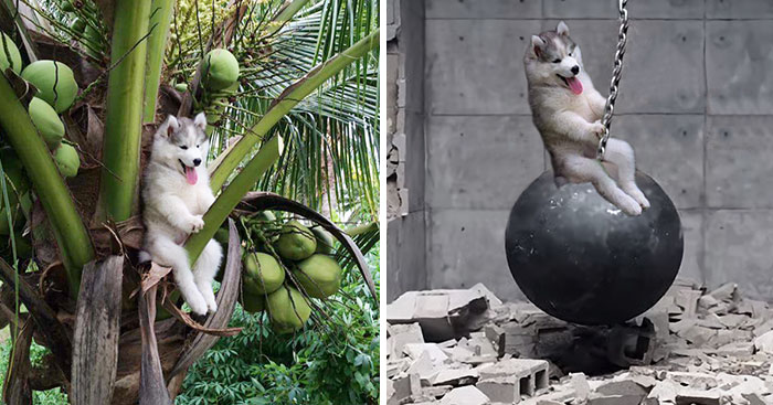 Husky Gets Stuck On Coconut Tree, The Internet Decides To Help… With Photoshop (68 Pics)