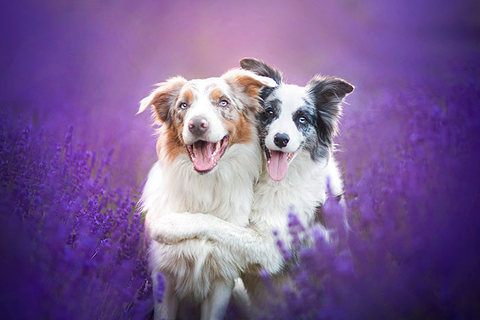 I Brought Our Dogs To The Lavender Gardens To Capture Their Pure Joy