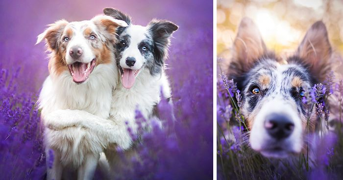 i brought our dogs to the lavender gardens to capture their pure joy bored panda. Black Bedroom Furniture Sets. Home Design Ideas