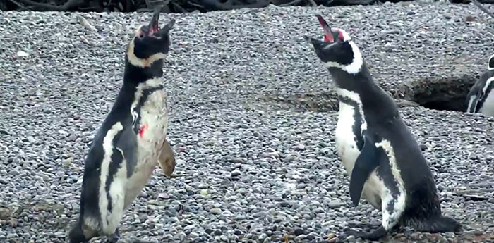 penguin-fights-homewrecker-cheating-wife-2
