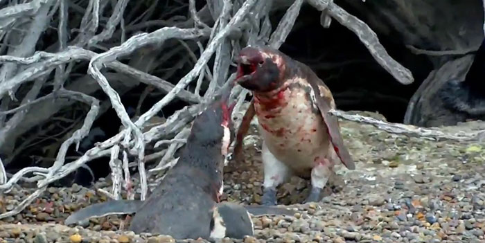 penguin-fights-homewrecker-cheating-wife-4