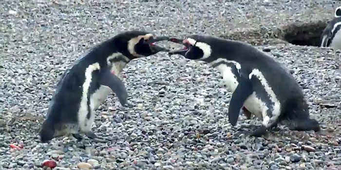 Penguin Comes Home To Find Cheating Wife, And His Fight Against Homewrecker Goes Viral