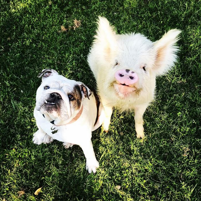 pig-puppy-olive-7
