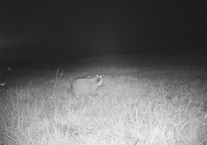 police-camera-find-mountain-lion-kansas-4