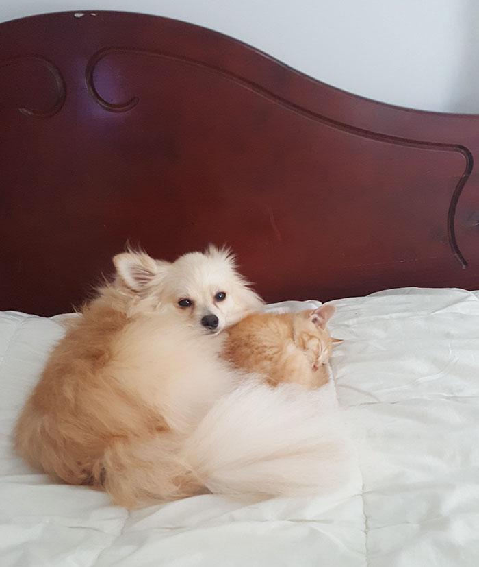 pomeranian-dog-adopts-ginger-kitten-12