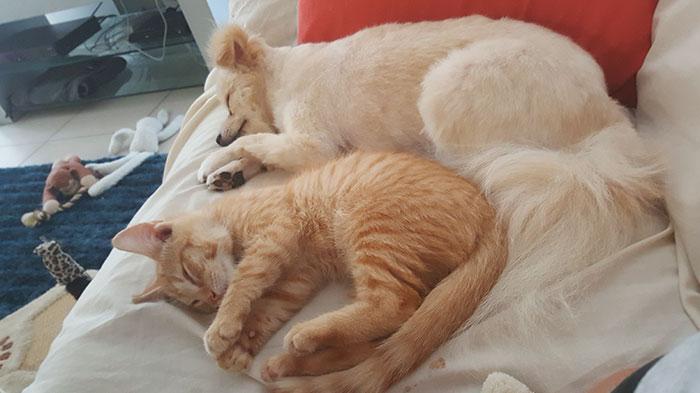 pomeranian-dog-adopts-ginger-kitten-14