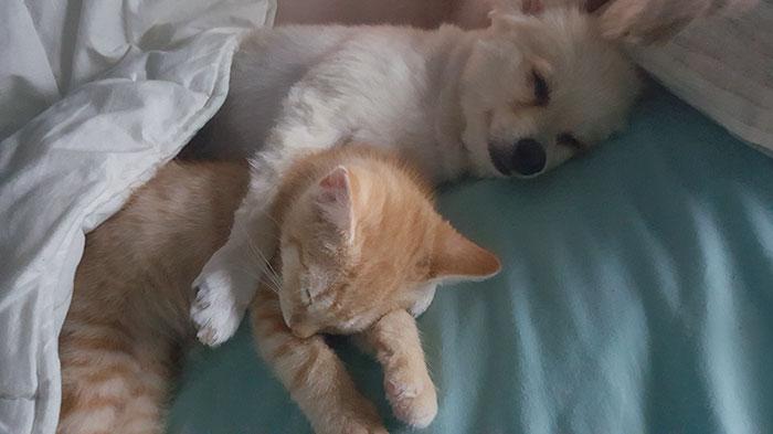 pomeranian-dog-adopts-ginger-kitten-6