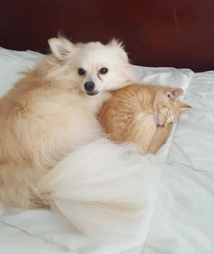 pomeranian-dog-adopts-ginger-kitten-8