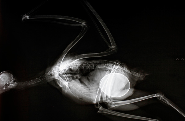 Pregnant Red-Tailed Hawk X-Ray