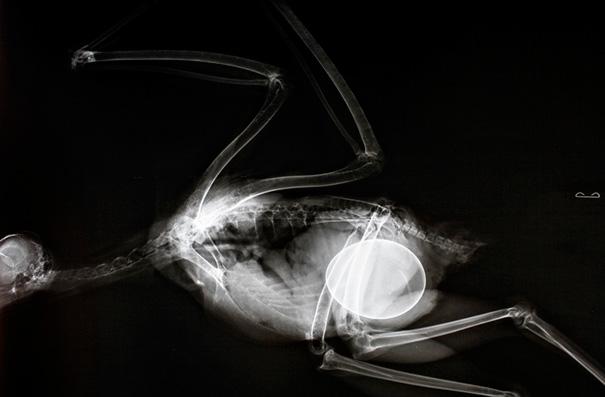 Embarazada Halcón de cola roja X-Ray