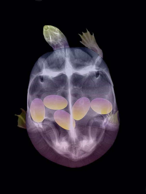 X-Ray Of A Pregnant Turtle