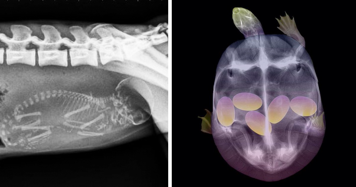 x rays and pregnancy You have probably seen your fair share of pictures of human babies still in the  womb, but have you ever seen an animal x-ray these are.