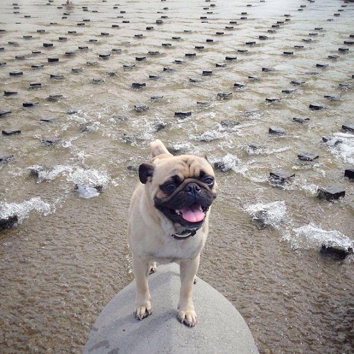 Pug Adventures