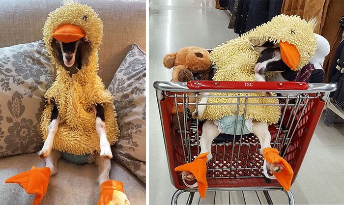 Rescue Goat Suffering From Anxiety Only Calms Down In Her Duck Costume