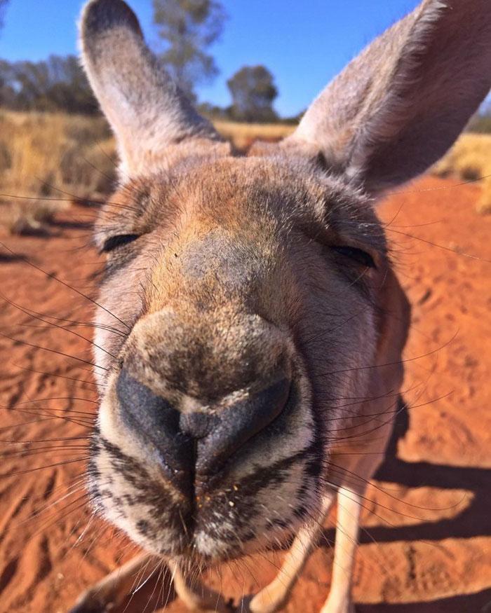 rescued-hugging-kangaroo-abigail-australia-2