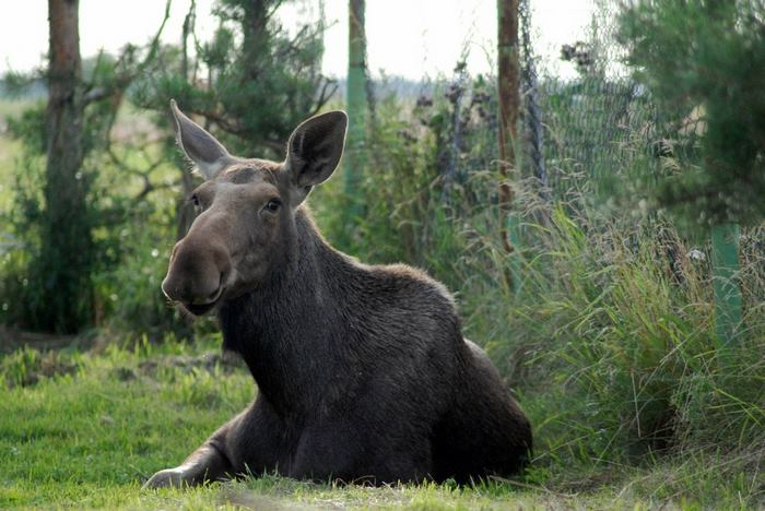 rescued-moose-visit-guy-erikas-plucas-10