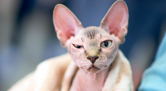 Woman Shocked After Realizing Her $700 Hairless Sphynx Cat Is Actually A Regular Cat That Was Shaved