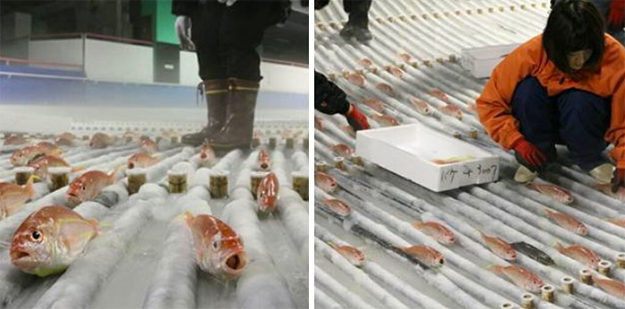 skating-rink-freeze-fish-ice-japan-10