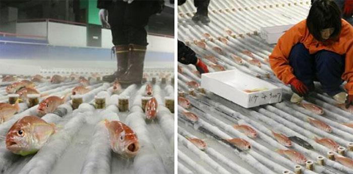skating-rink-freeze-fish-ice-japan-10