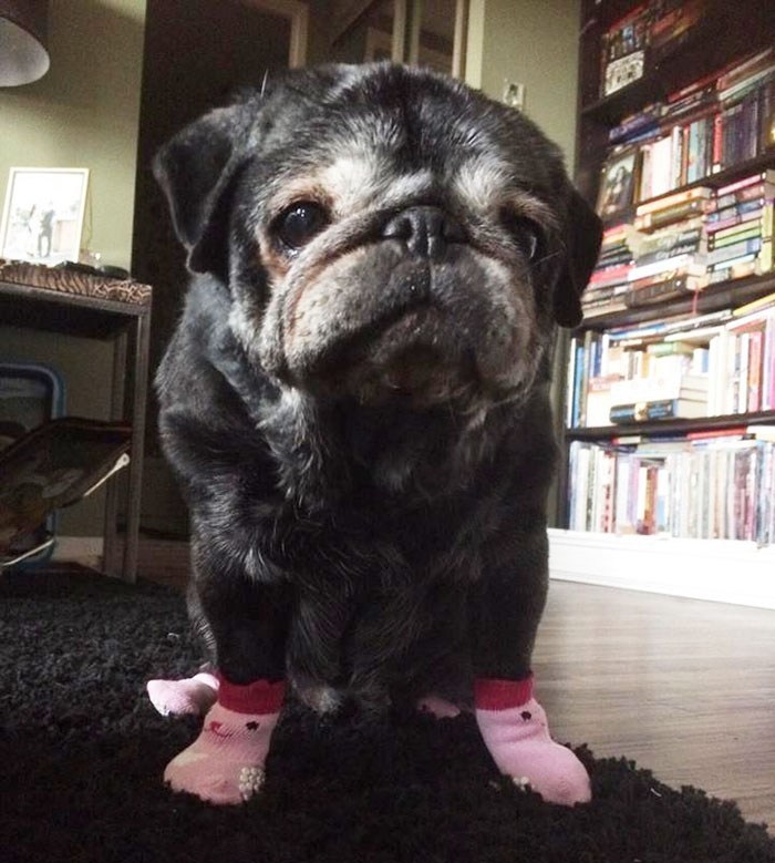sock-pug-leia-2
