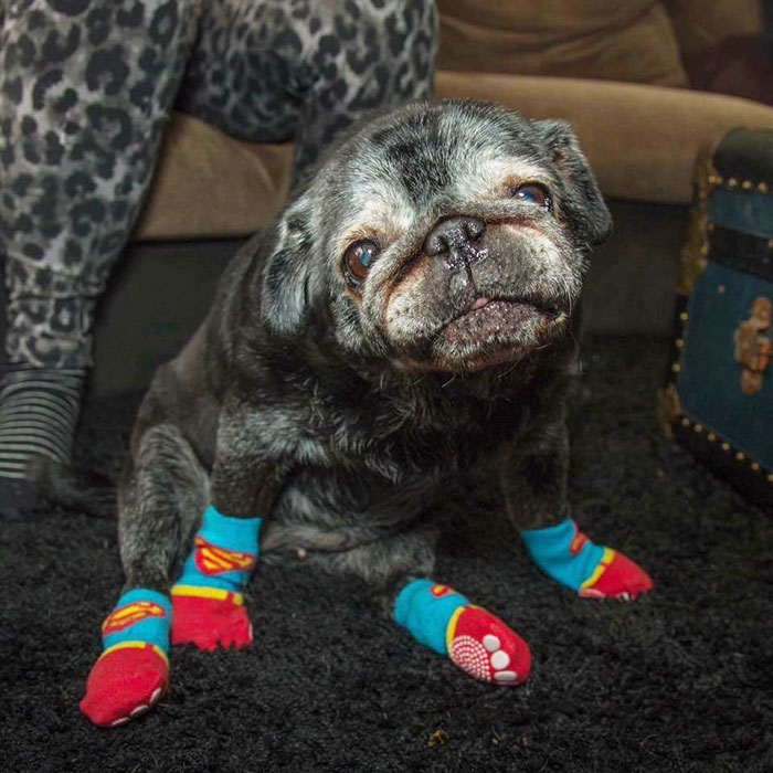 All This Pug Needed Was A Pair Of Socks, And His Life Totally Changed
