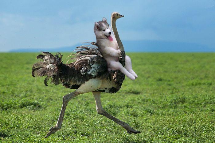 +ostrich Rider