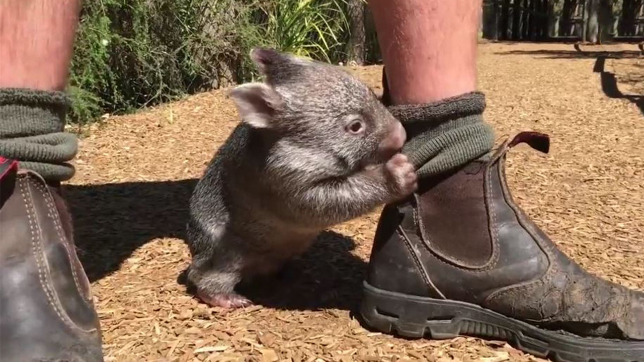 This Wombat Thinks He S A Dog Bored Panda