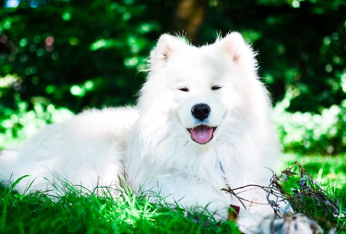 I Make Photos Of Our Lovely Samoyed Dog Totosha Who Just Changed Our Lives For Better