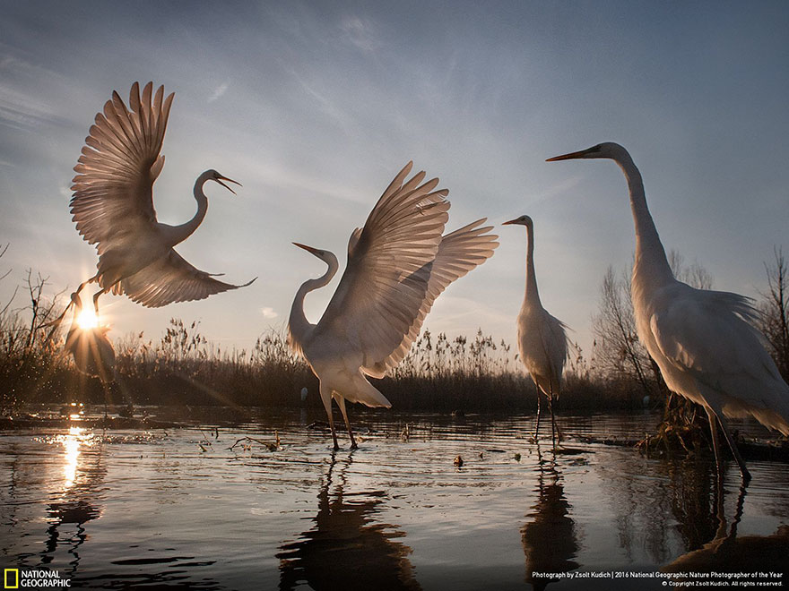 Third Place Winner, Action: Changing Fortunes Of The Great Egret, Hungary
