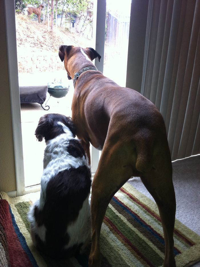 Zena The English Springer Spaniel Who Became The Adoptive Aunt To King The Boxer Pup
