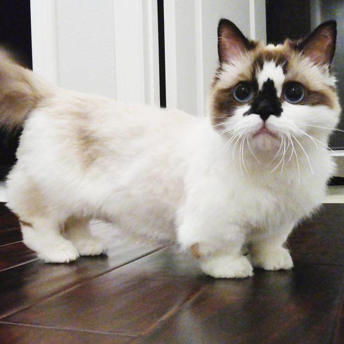 munchkin cat india