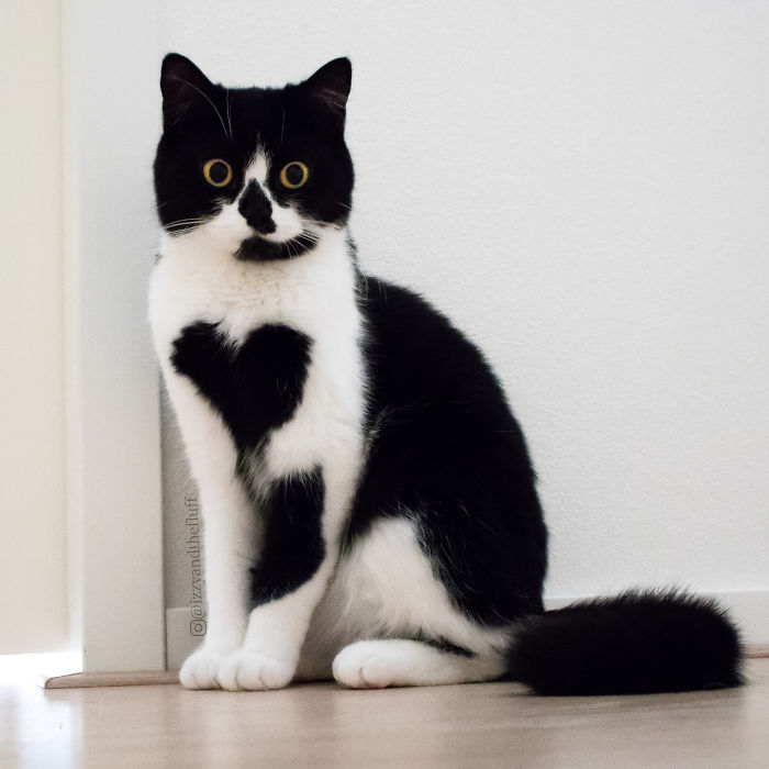 meet zo the cat who literally wears her heart on her