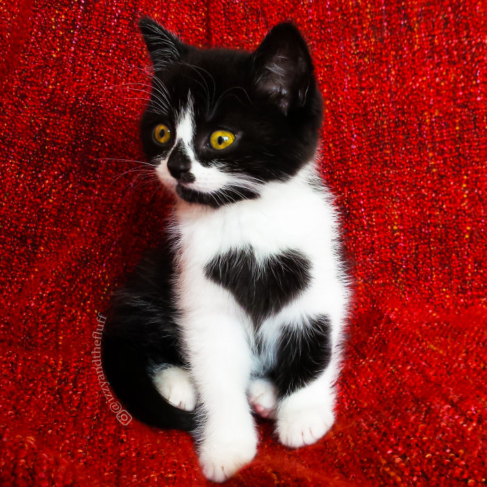 Meet Zoë The Cat Who Literally Wears Her Heart On Her Chest - The internet has fallen in love with zo the cat that wears her heart on her chest