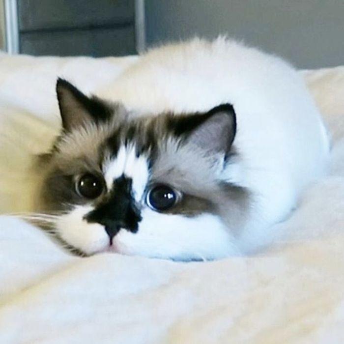 Cute midget kittens