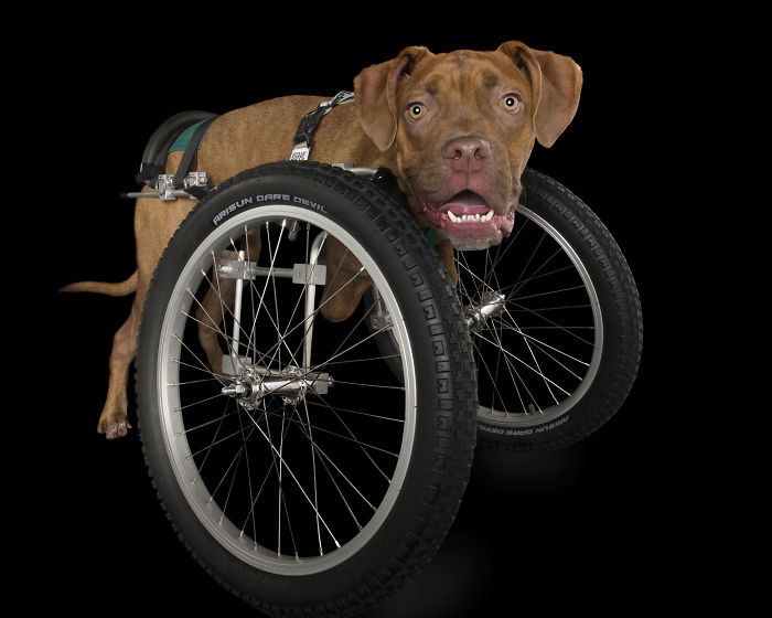 Disabled Puppy Abandoned In Dumpster Finally Gets His Wheels
