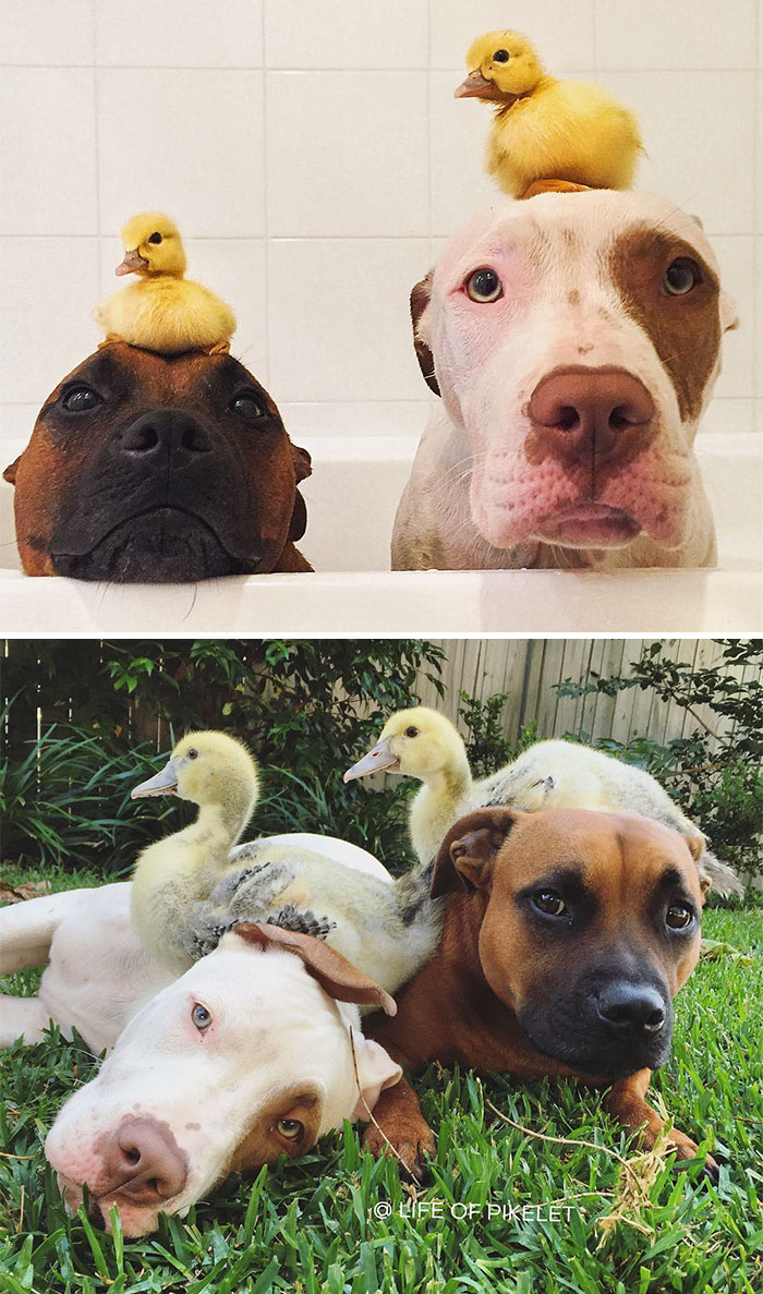 Two Ducklings And Two Of Their Best Friends