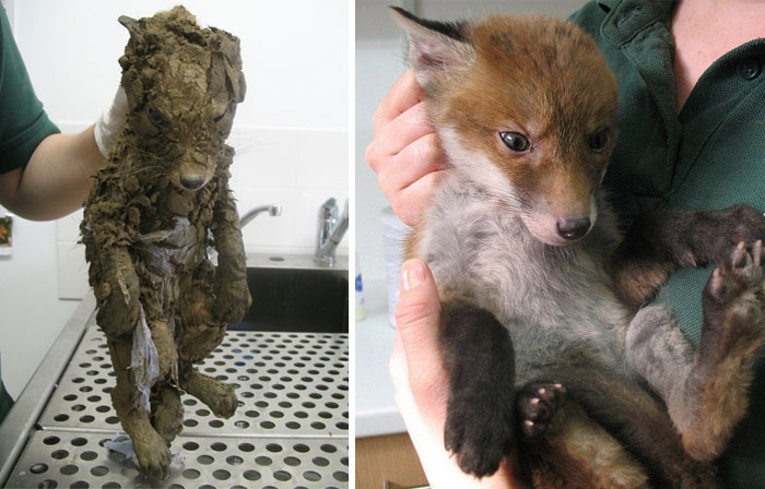 A Mysterious Animal Found In Mud Couldn't Be Identified Until The Rescuers Cleaned Him And Find Out That… It Was A Little Beautiful Red Fox