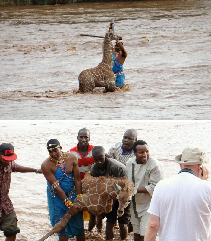 Group Of People Save Baby Giraffe From Drowning In Kenya