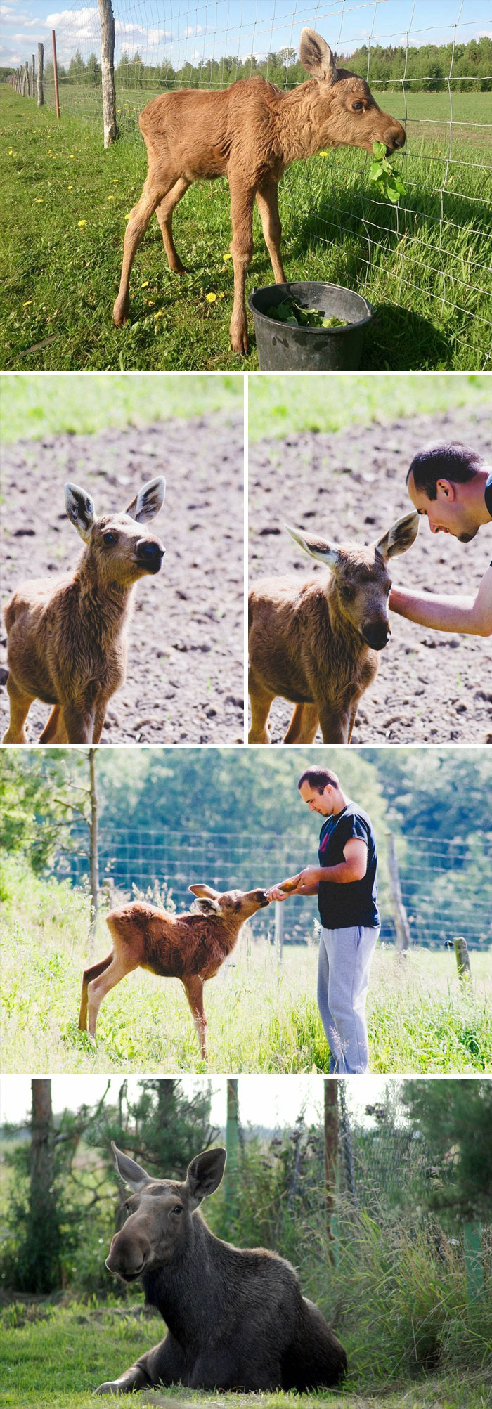 Guy Rescues Baby Moose, She Comes Back Every Day To Visit And Play With Him