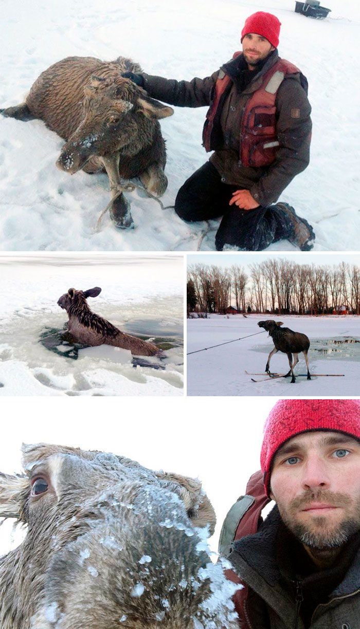 33-Year-Old Man From Barnaul, Russia, Rescued A Moose Calf Trapped In The Freezing Waters Of The Ob River