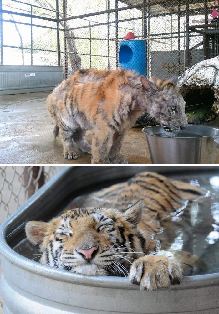 Sick Tiger Cub Weighting Only 1/4 Of Normal Weight, Gets Rescued From Circus, Makes Incredible Recovery