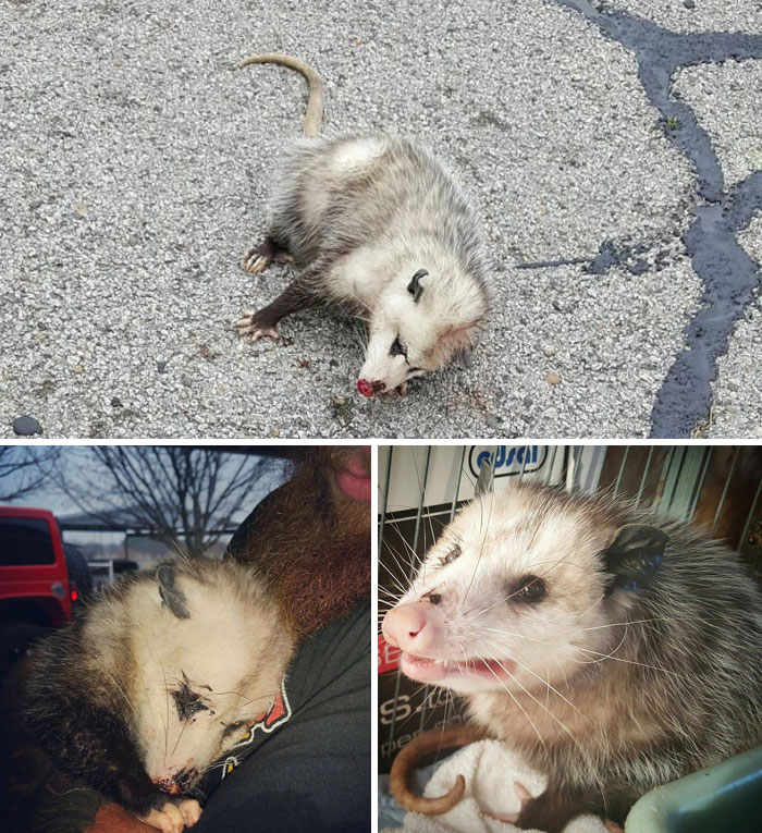 """Pregnant Opossum Found """"Dead"""" Hugs The Human That Saved Her Life"""