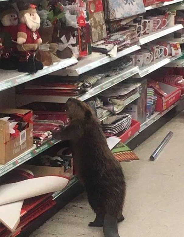 beaver-dollar-store-christmas-tree-shopping-4
