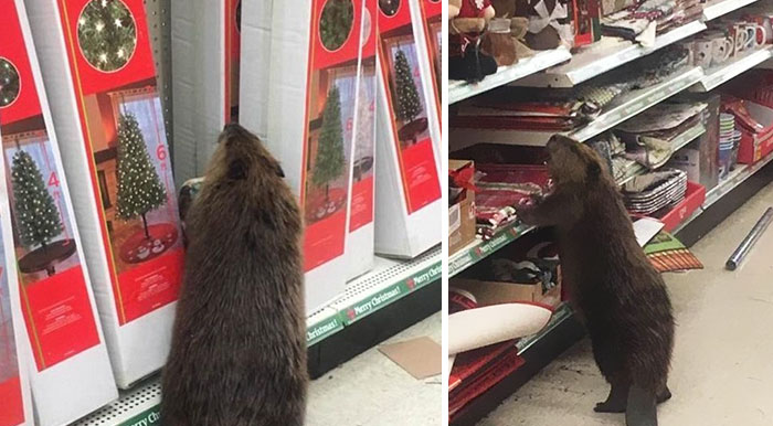 Beaver Spotted In Supermarket Looking For An Artificial Christmas Tree